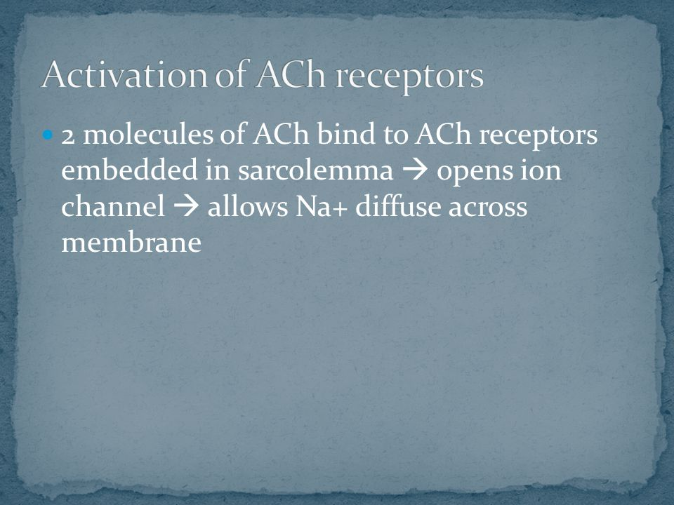 2 molecules of ACh bind to ACh receptors embedded in sarcolemma  opens ion channel  allows Na+ diffuse across membrane