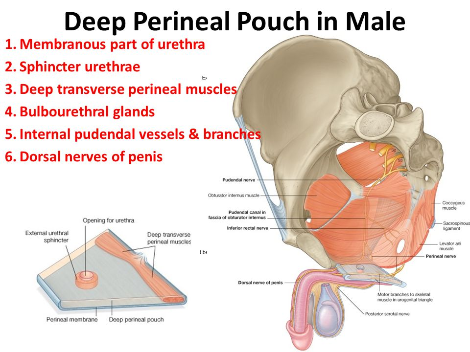 Deep Perineal Pouch in Male 1.Membranous part of urethra 2.Sphincter urethrae 3.Deep transverse perineal muscles 4.Bulbourethral glands 5.Internal pud