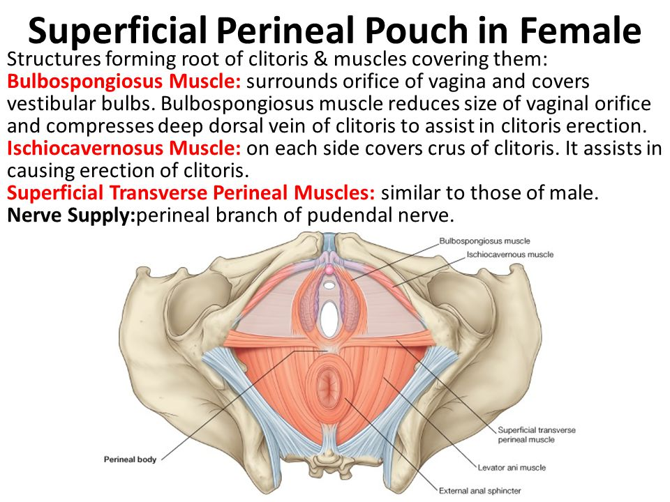 Superficial Perineal Pouch in Female Structures forming root of clitoris & muscles covering them: Bulbospongiosus Muscle: surrounds orifice of vagina