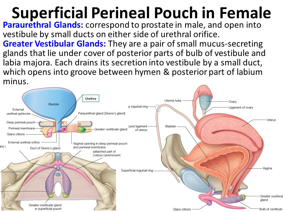 Superficial Perineal Pouch in Female Paraurethral Glands: correspond to prostate in male, and open into vestibule by small ducts on either side of ure