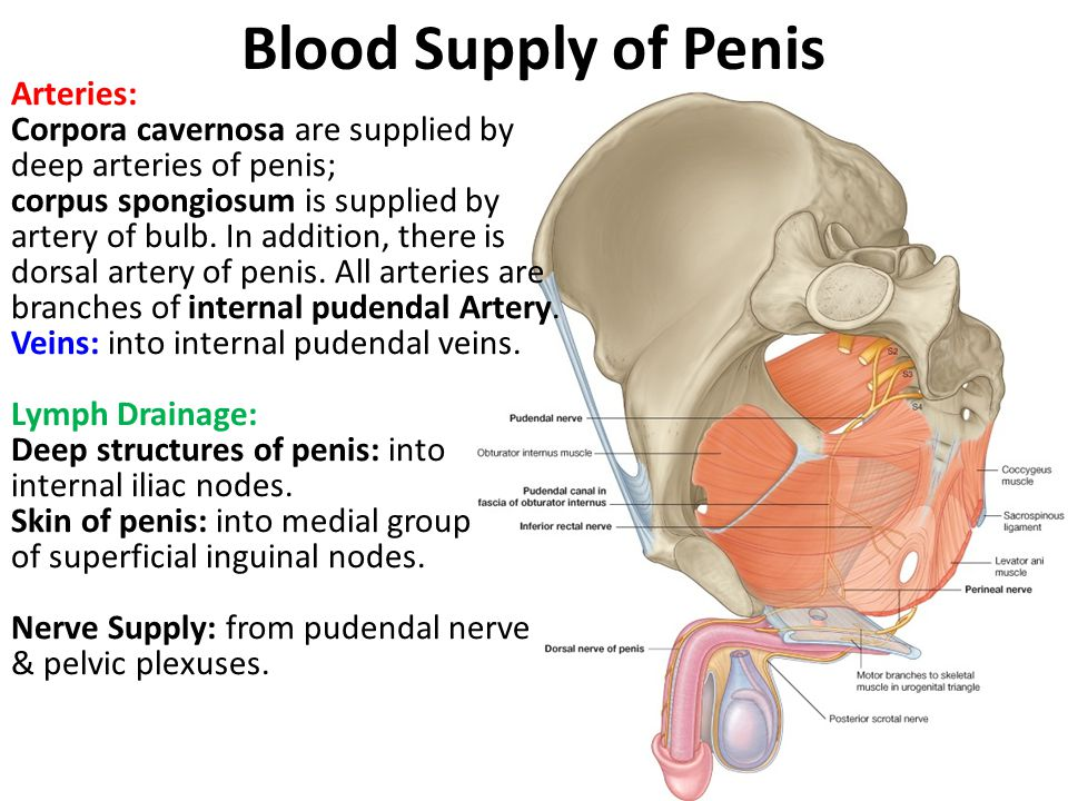 Blood Supply of Penis Arteries: Corpora cavernosa are supplied by deep arteries of penis; corpus spongiosum is supplied by artery of bulb. In addition