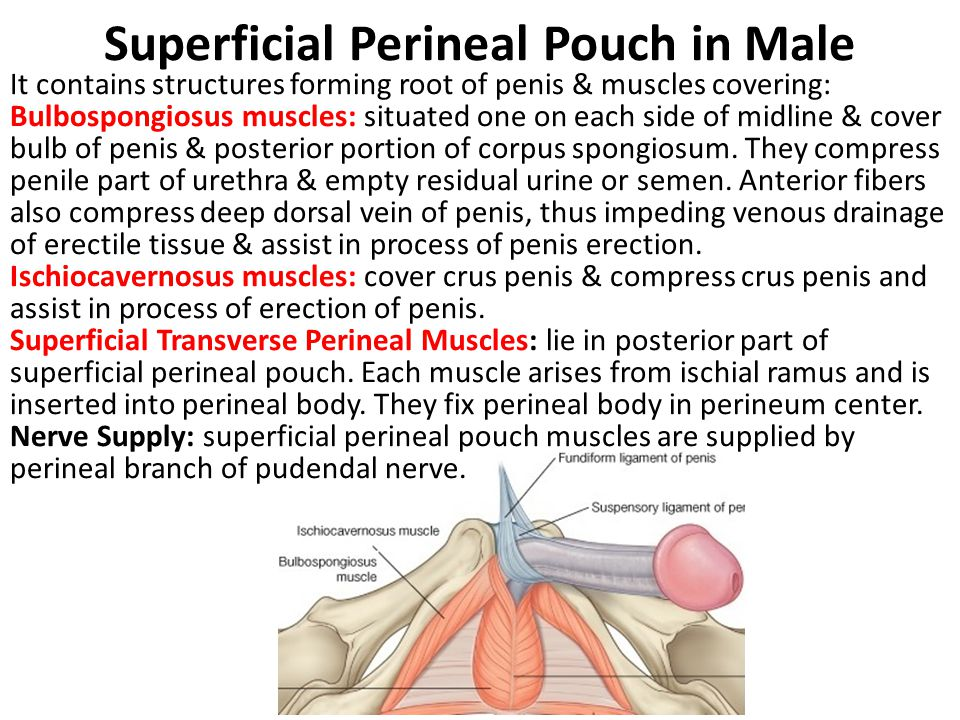 Deep Perineal Pouch in Male 1.Membranous part of urethra 2.Sphincter urethrae 3.Deep transverse perineal muscles 4.Bulbourethral glands 5.Internal pudendal vessels & branches 6.Dorsal nerves of penis