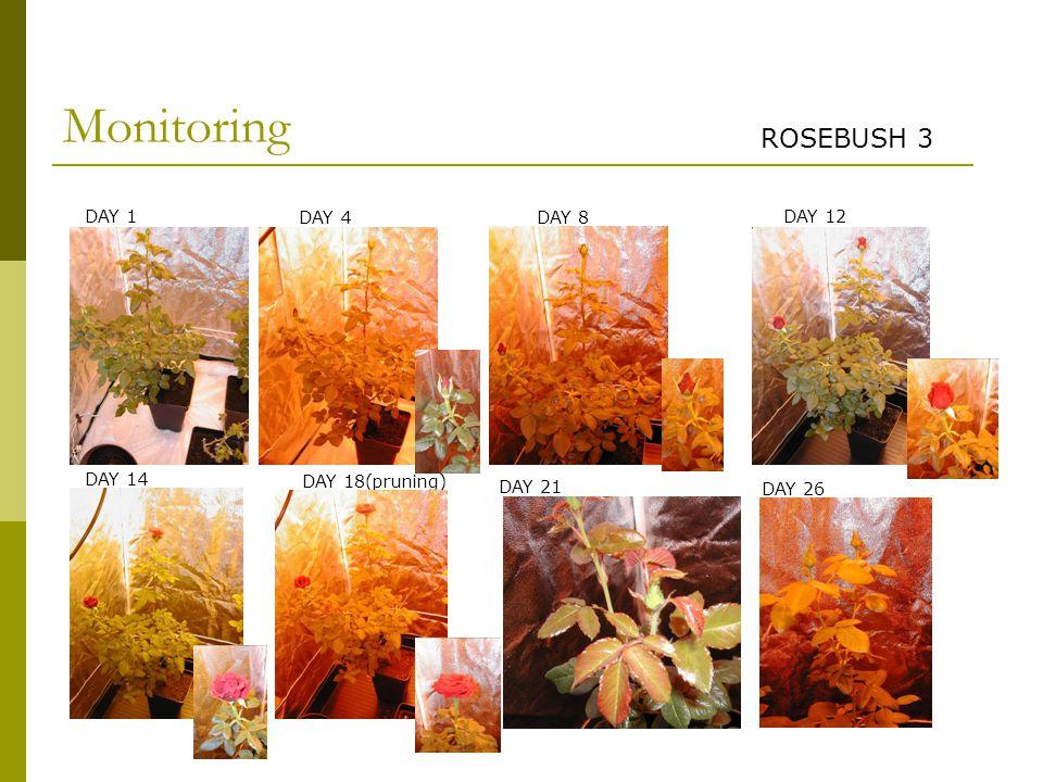 Monitoring DAY 1 DAY 4 DAY 14 DAY 12 DAY 8 DAY 18(pruning) DAY 21 DAY 26 ROSEBUSH 3