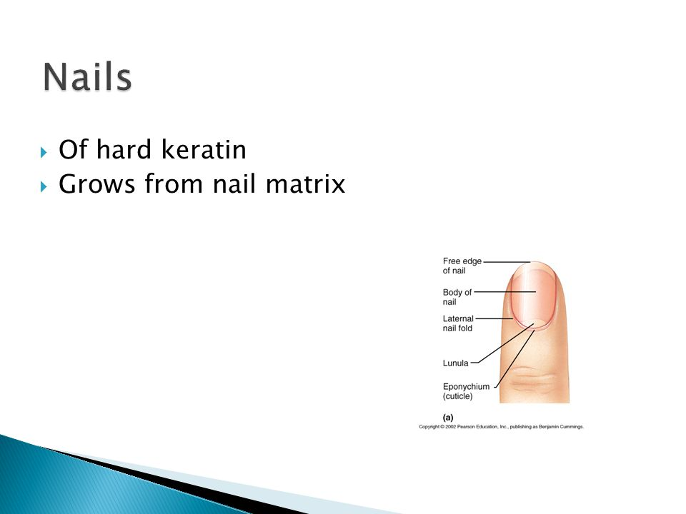  Of hard keratin  Grows from nail matrix
