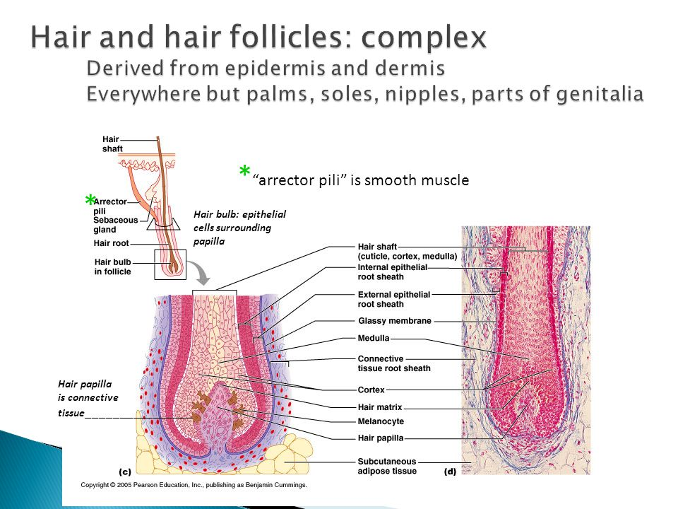* arrector pili is smooth muscle * Hair papilla is connective tissue ________________ Hair bulb: epithelial cells surrounding papilla