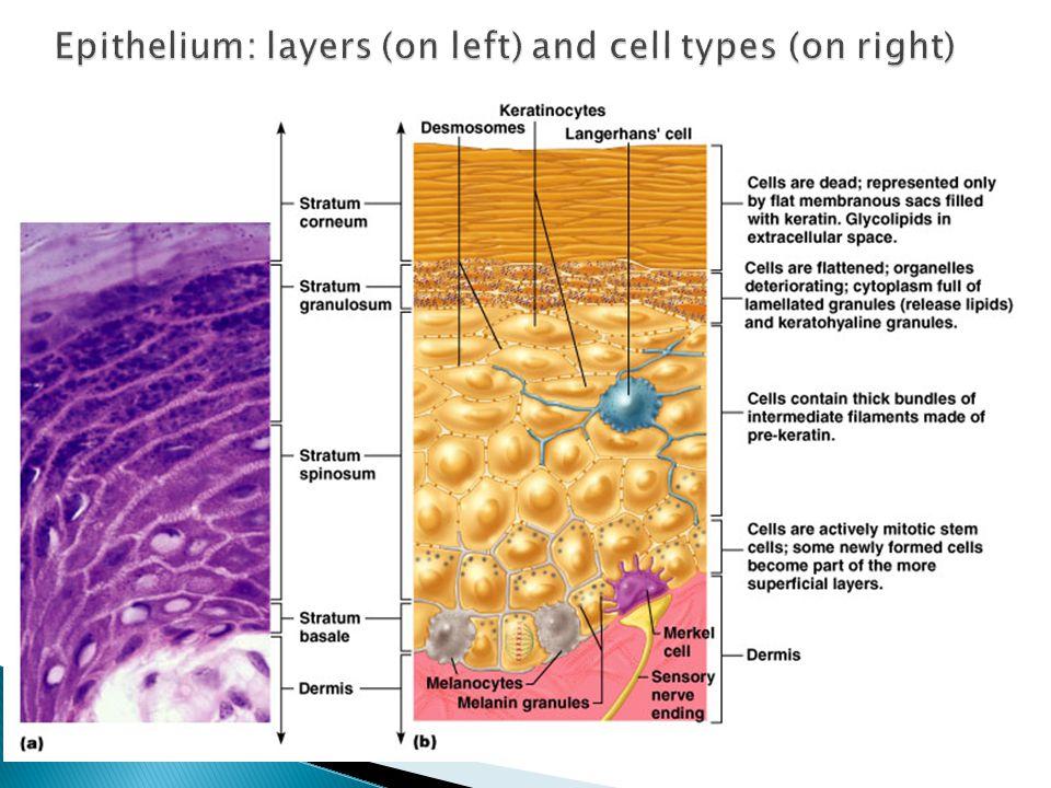  Four basic types of tissue ◦ Epithelium – epidermis just discussed ◦ Connective tissue - dermis ◦ Muscle tissue ◦ Nervous tissue