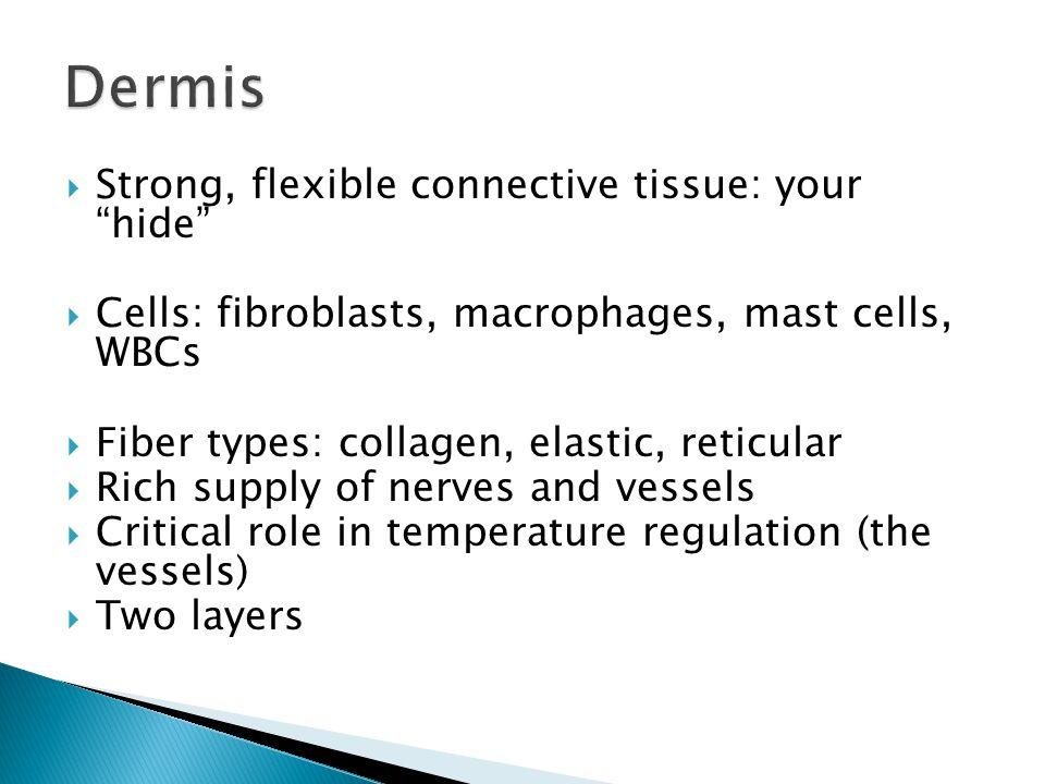 * Dermis layers * * * Dermal papillae