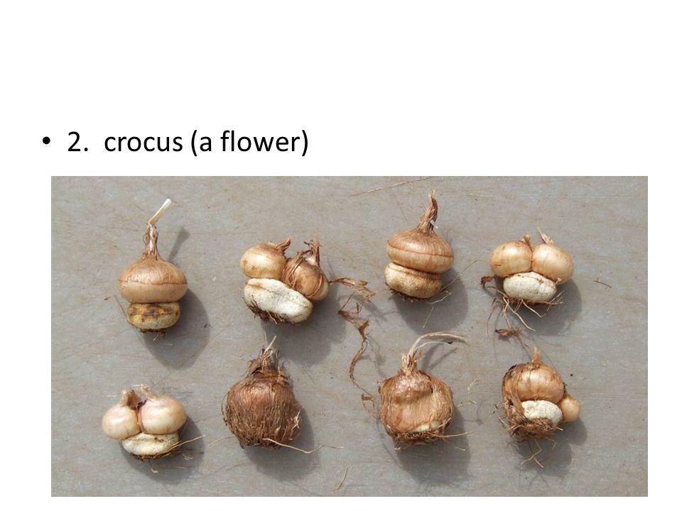 2. crocus (a flower)