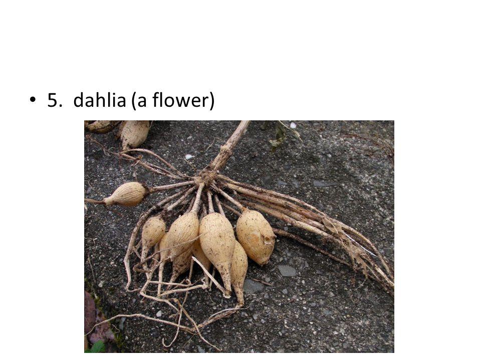 5. dahlia (a flower)