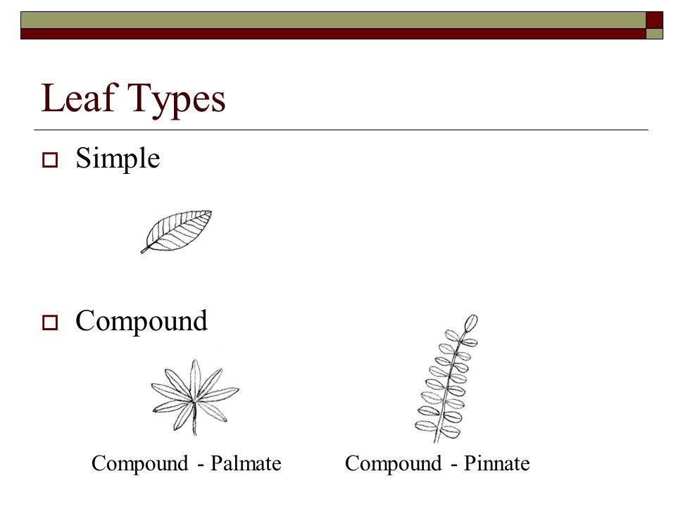 Leaf Types  Simple  Compound Compound - PalmateCompound - Pinnate