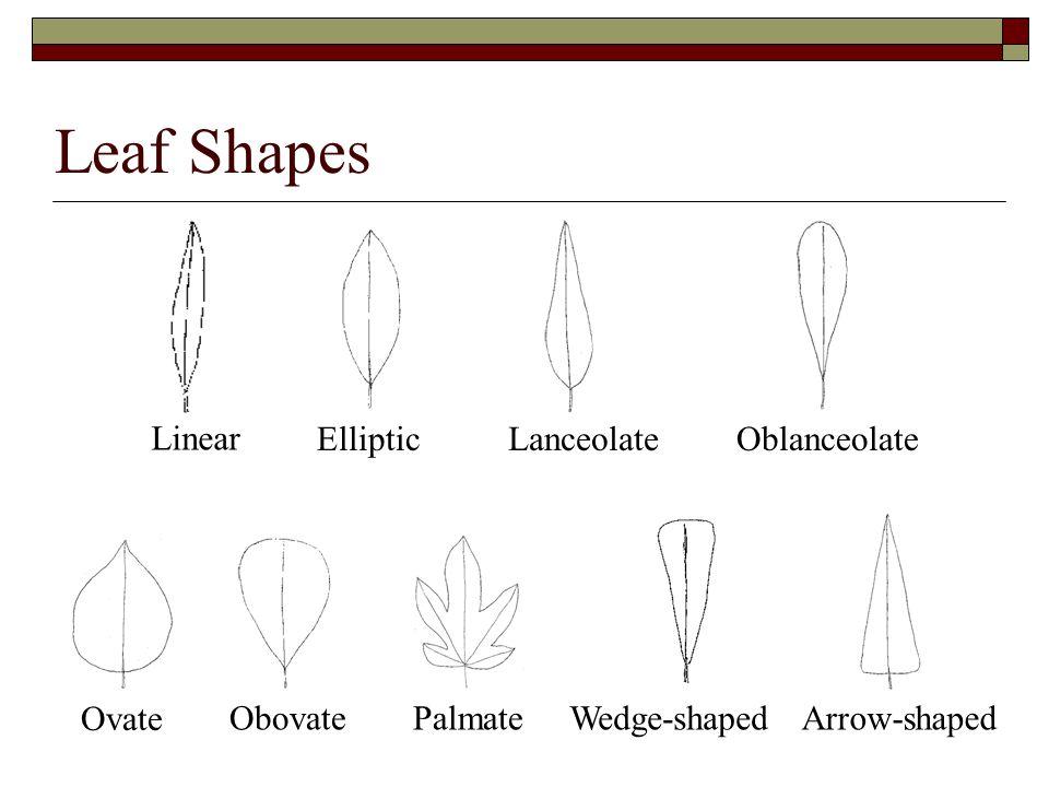 Leaf Shapes Ovate Palmate Linear EllipticLanceolateOblanceolate Wedge-shapedArrow-shapedObovate