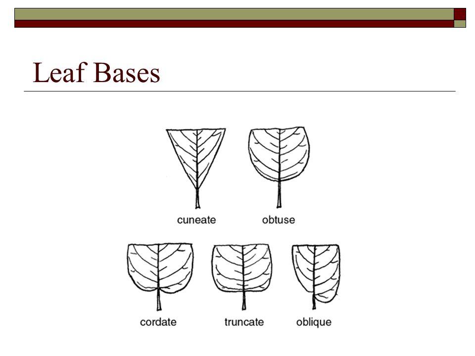 Leaf Bases