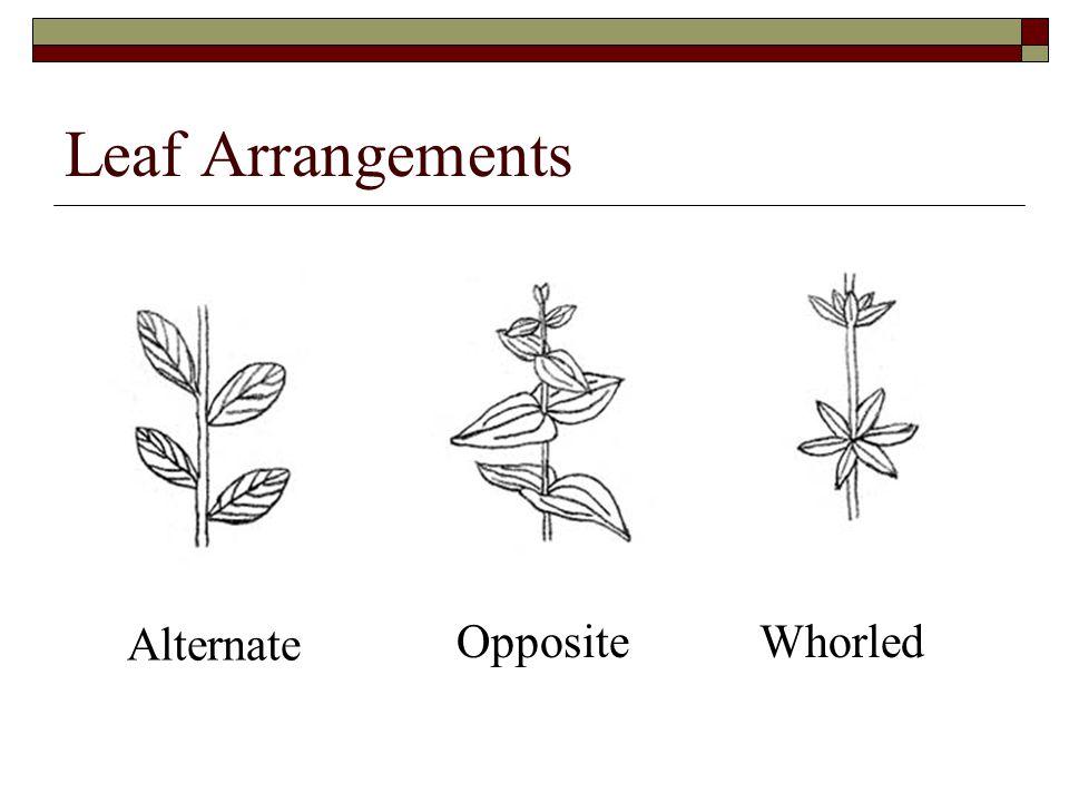 Leaf Arrangements Alternate OppositeWhorled