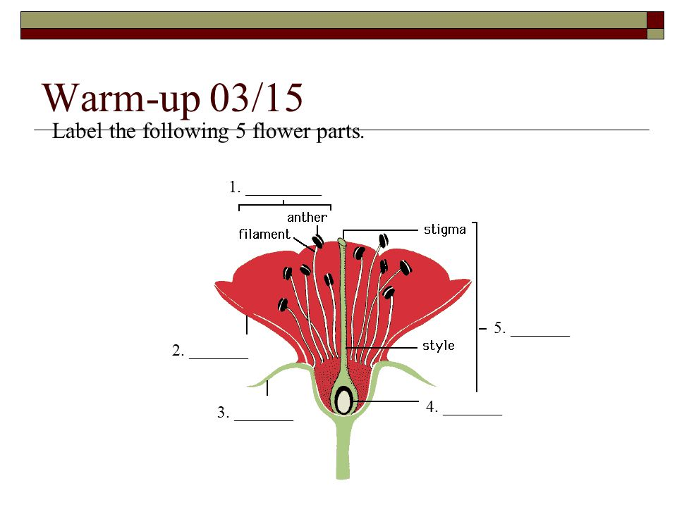 Warm-up 03/15 1. _________ 2. _______ 3. _______ 4. _______ 5. _______ Label the following 5 flower parts.