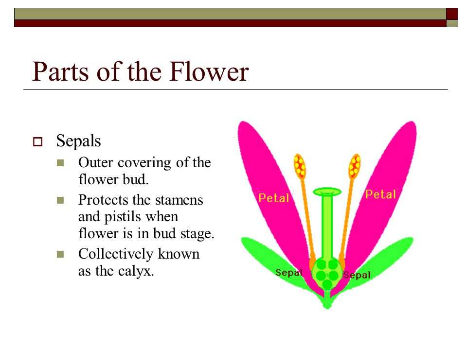Parts of the Flower  Sepals Outer covering of the flower bud. Protects the stamens and pistils when flower is in bud stage. Collectively known as the