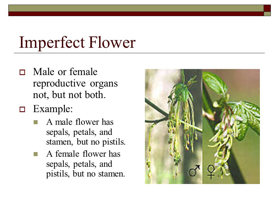 Imperfect Flower  Male or female reproductive organs not, but not both.  Example: A male flower has sepals, petals, and stamen, but no pistils. A fe