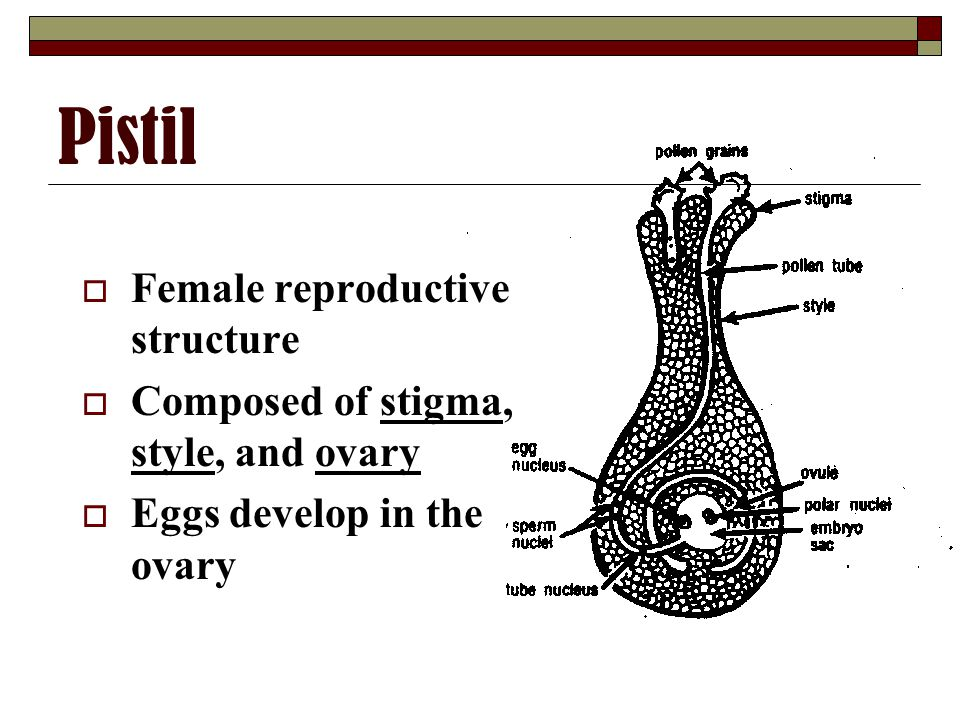 Pistil  Female reproductive structure  Composed of stigma, style, and ovary  Eggs develop in the ovary