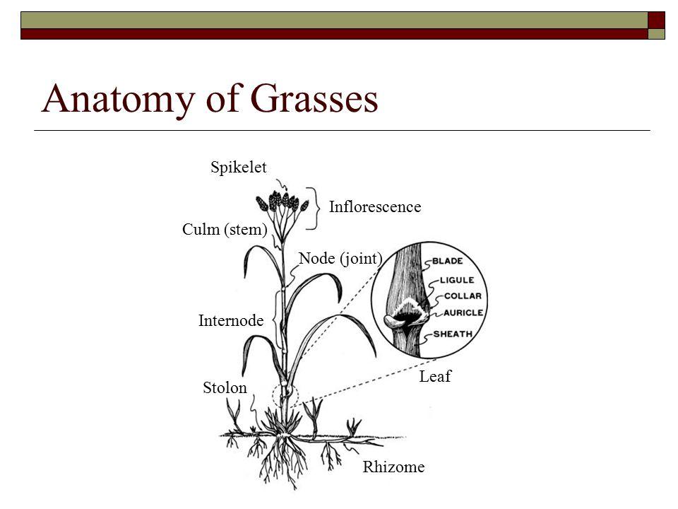 Anatomy of Grasses Spikelet Inflorescence Internode Culm (stem) Node (joint) Rhizome Stolon Leaf
