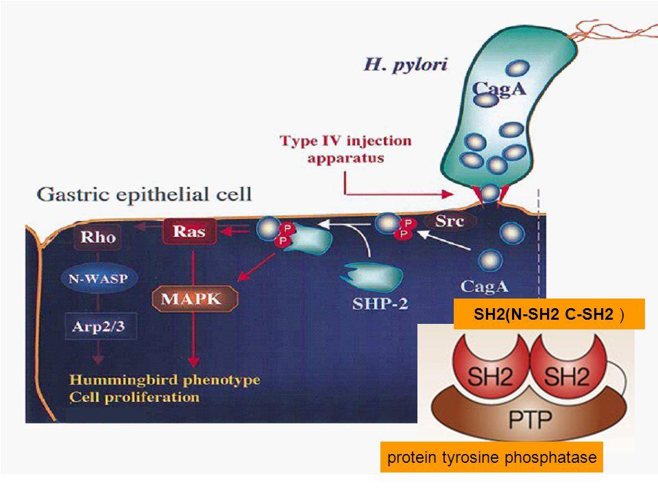 SH2(N-SH2 C-SH2 ) protein tyrosine phosphatase
