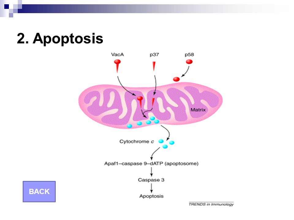 2. Apoptosis BACK