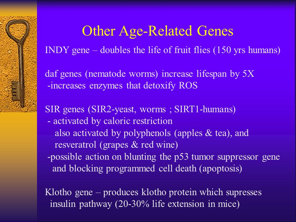 INDY gene – doubles the life of fruit flies (150 yrs humans) daf genes (nematode worms) increase lifespan by 5X -increases enzymes that detoxify ROS S