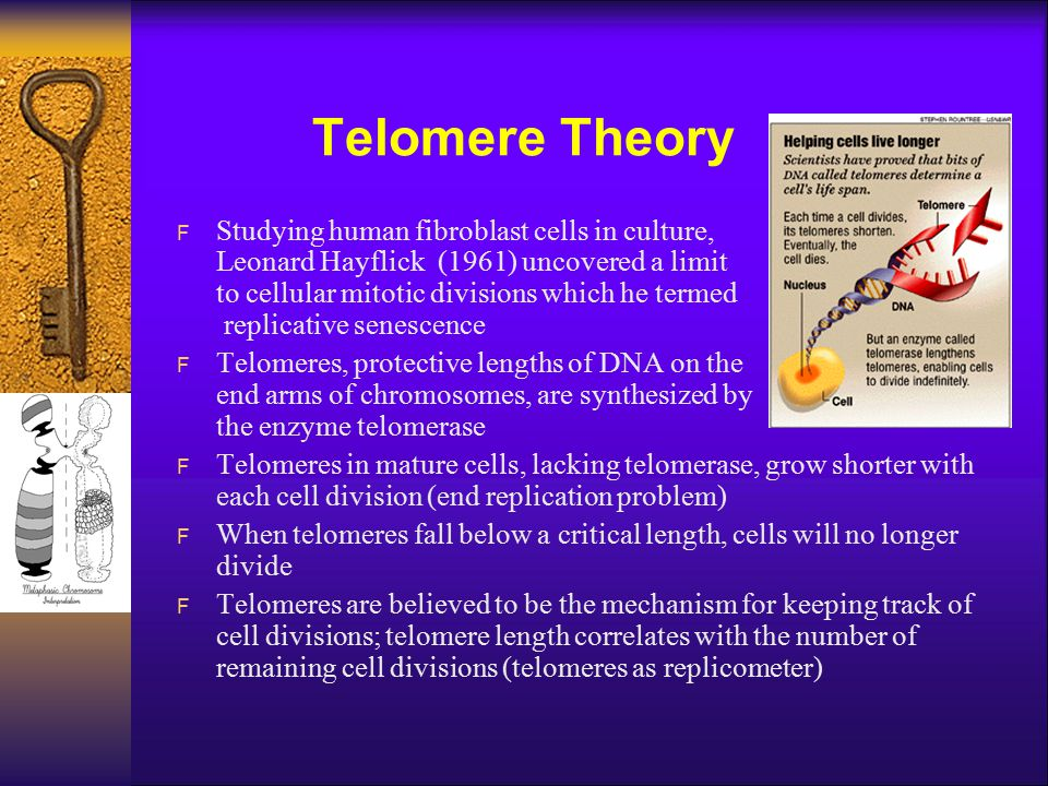Telomere Theory F Studying human fibroblast cells in culture, Leonard Hayflick (1961) uncovered a limit to cellular mitotic divisions which he termed replicative senescence F Telomeres, protective lengths of DNA on the end arms of chromosomes, are synthesized by the enzyme telomerase F Telomeres in mature cells, lacking telomerase, grow shorter with each cell division (end replication problem) F When telomeres fall below a critical length, cells will no longer divide F Telomeres are believed to be the mechanism for keeping track of cell divisions; telomere length correlates with the number of remaining cell divisions (telomeres as replicometer)