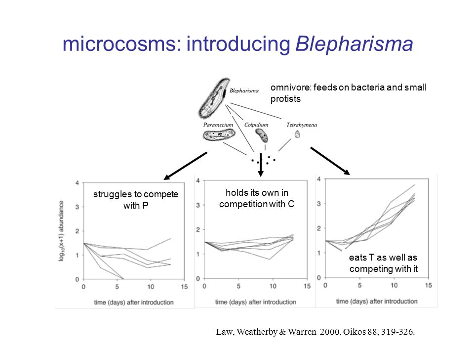 omnivore: feeds on bacteria and small protists eats T as well as competing with it holds its own in competition with C microcosms: introducing Blepharisma Law, Weatherby & Warren 2000.
