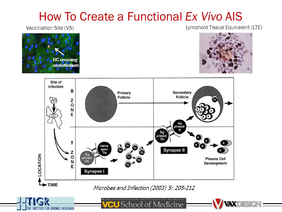 Microbes and Infection (2003) 5: 205-212 How To Create a Functional Ex Vivo AIS DC crossing endothelium Lymphoid Tissue Equivalent (LTE) Vaccination S