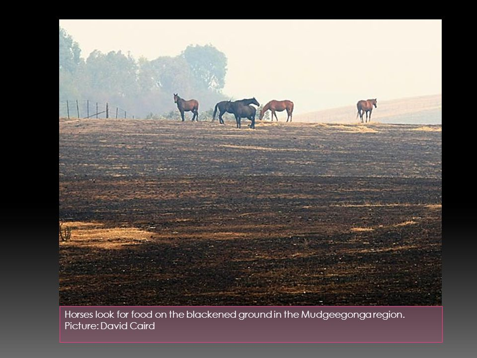Horses look for food on the blackened ground in the Mudgeegonga region. Picture: David Caird