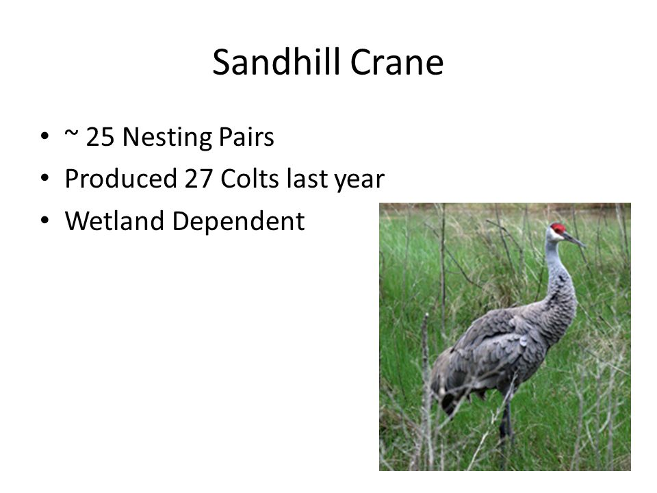 Sandhill Crane ~ 25 Nesting Pairs Produced 27 Colts last year Wetland Dependent