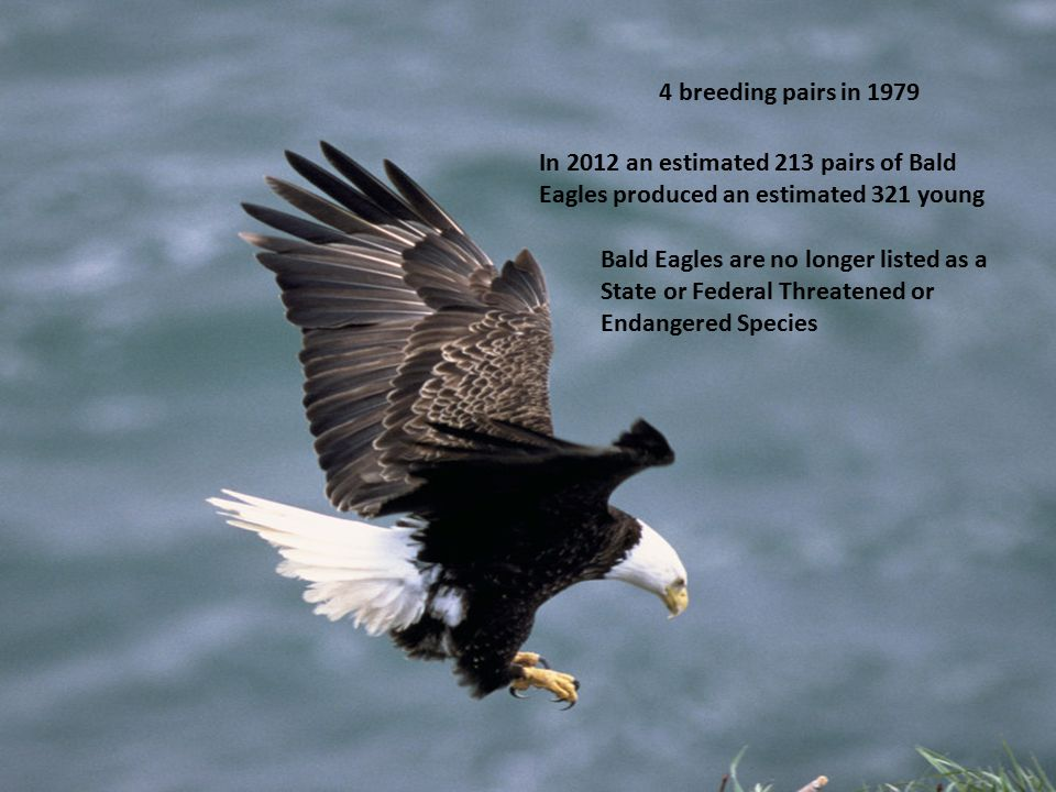 Bald Eagle 4 breeding pairs in 1979 In 2012 an estimated 213 pairs of Bald Eagles produced an estimated 321 young Bald Eagles are no longer listed as a State or Federal Threatened or Endangered Species