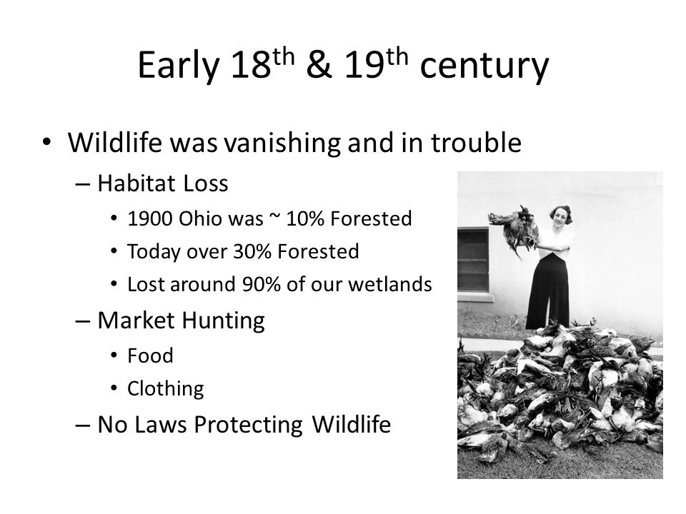 Early 18 th & 19 th century Wildlife was vanishing and in trouble – Habitat Loss 1900 Ohio was ~ 10% Forested Today over 30% Forested Lost around 90% of our wetlands – Market Hunting Food Clothing – No Laws Protecting Wildlife