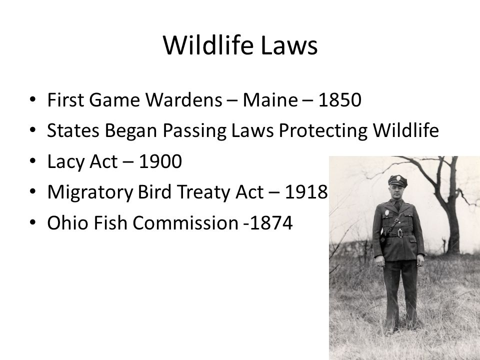 Wildlife Laws First Game Wardens – Maine – 1850 States Began Passing Laws Protecting Wildlife Lacy Act – 1900 Migratory Bird Treaty Act – 1918 Ohio Fish Commission -1874