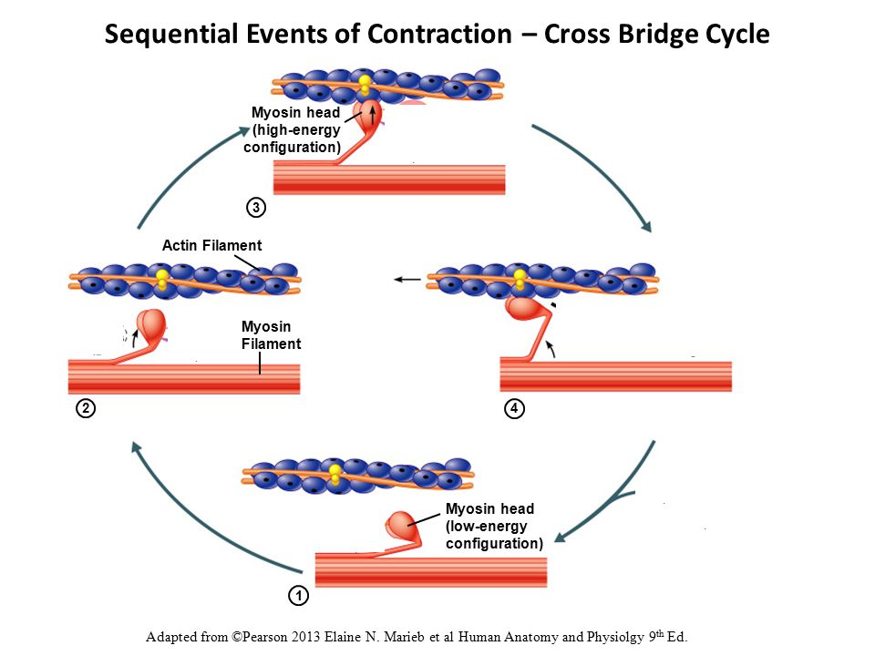 1 2 4 Myosin head (high-energy configuration) Myosin Filament Myosin head (low-energy configuration) ADP and P i (inorganic phosphate) released Sequential Events of Contraction – Cross Bridge Cycle Adapted from ©Pearson 2013 Elaine N.