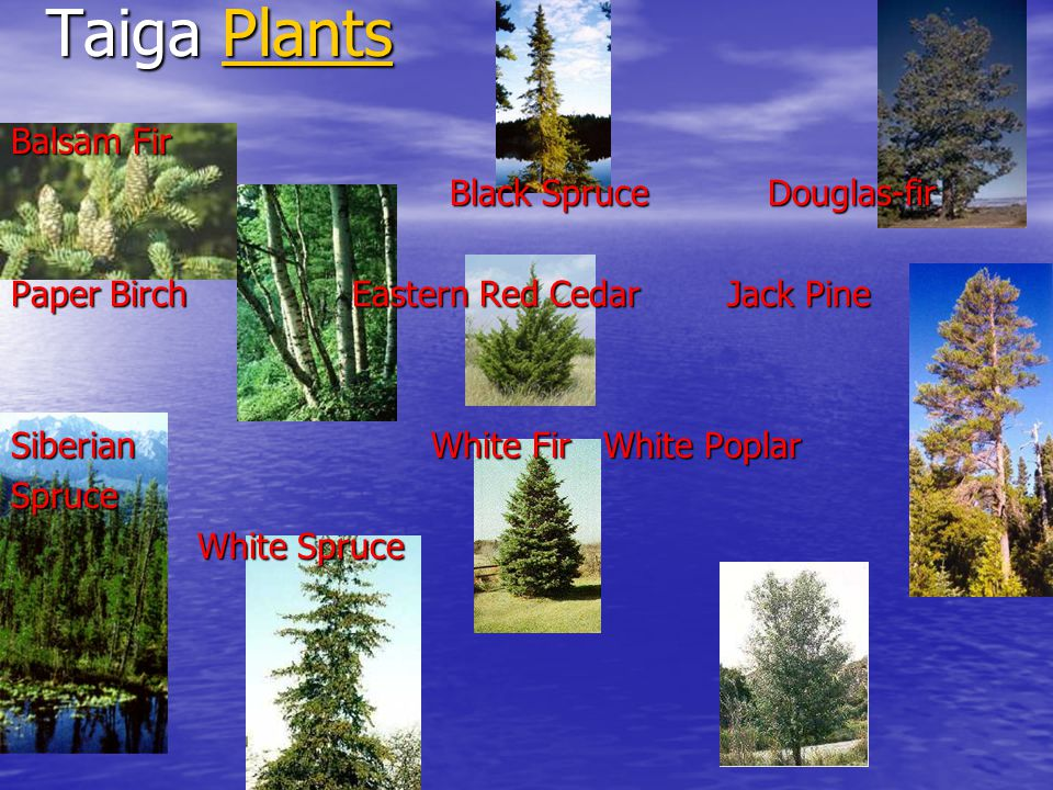 Taiga Plants Plants Balsam Fir Black Spruce Douglas-fir Black Spruce Douglas-fir Paper Birch Eastern Red Cedar Jack Pine Siberian White Fir White Poplar Spruce White Spruce White Spruce
