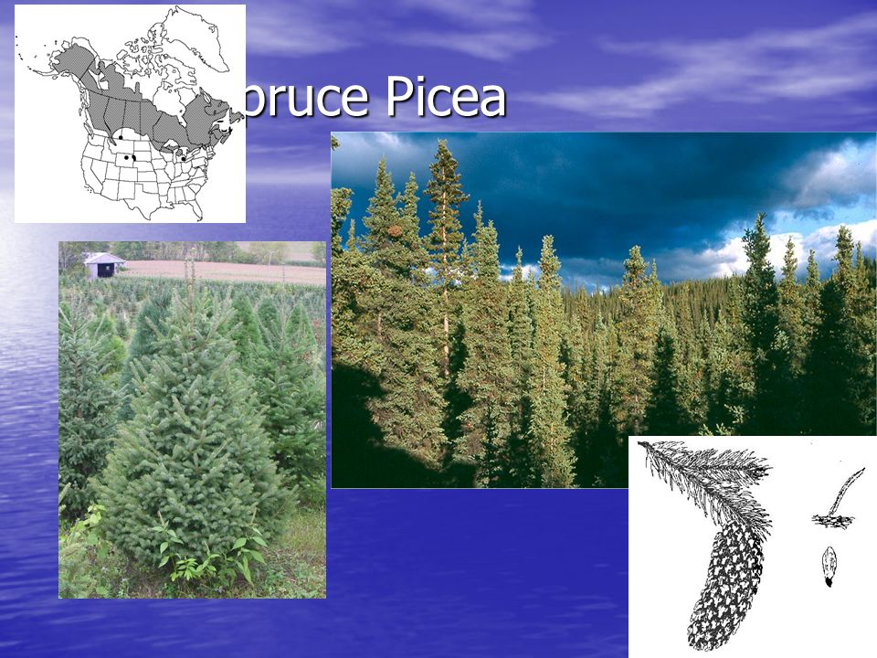 White Spruce Picea