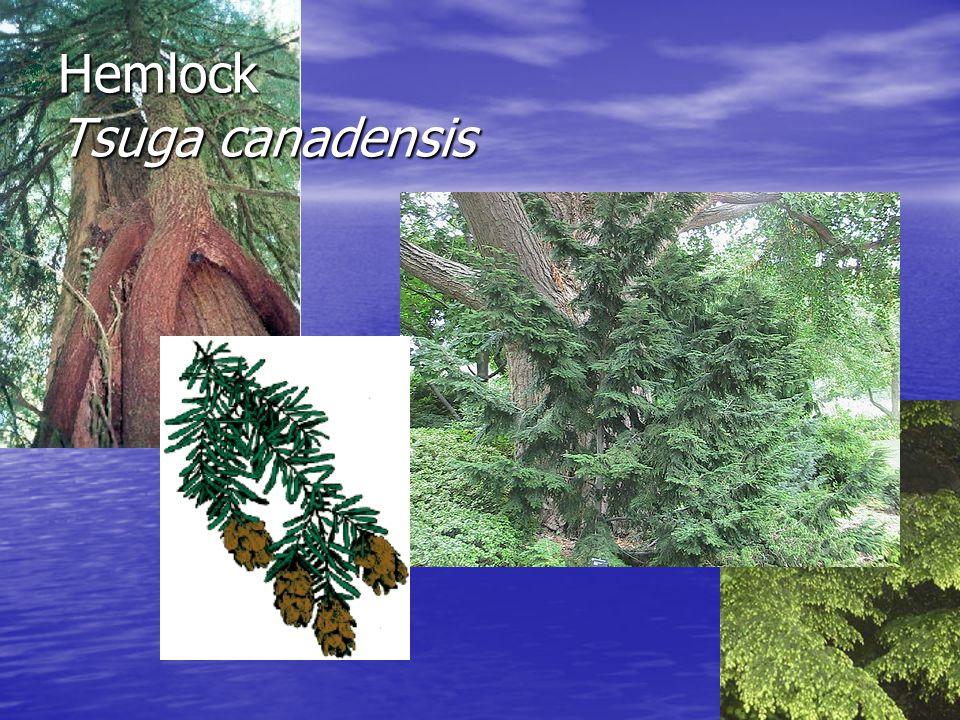Hemlock Tsuga canadensis