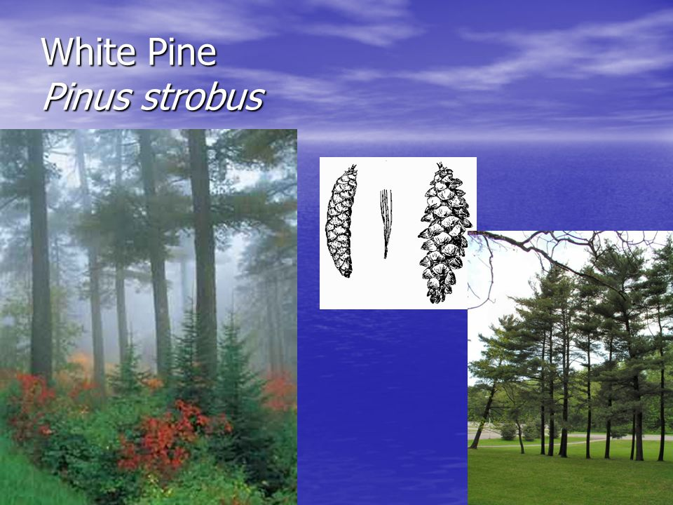 White Pine Pinus strobus