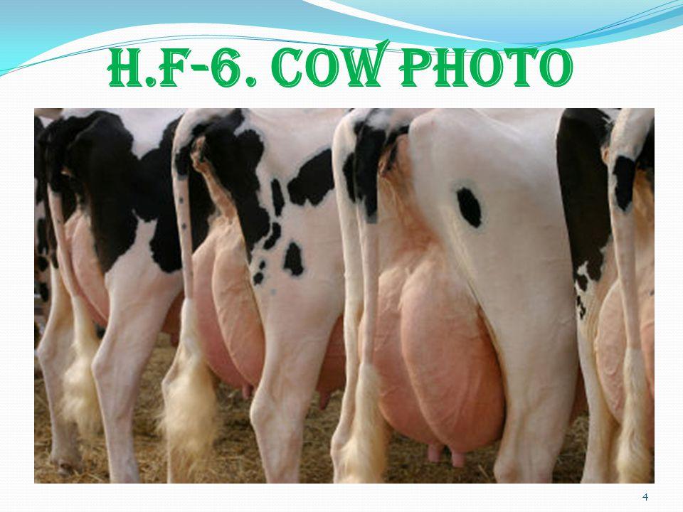 H.F-6. COW PHOTO 4