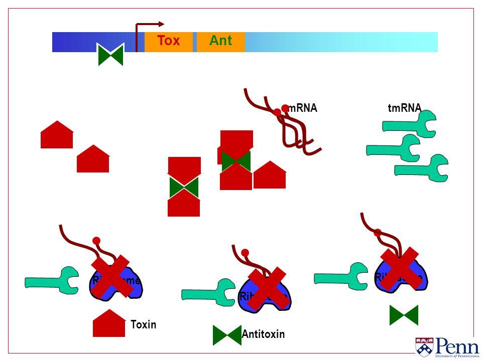 ToxAnt Ribosome mRNA Toxin Antitoxin tmRNA