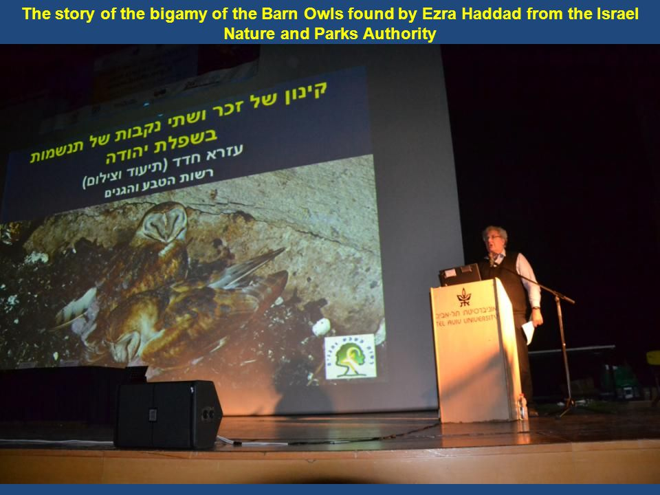 The story of the bigamy of the Barn Owls found by Ezra Haddad from the Israel Nature and Parks Authority
