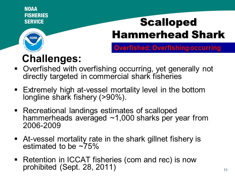 11 Scalloped Hammerhead Shark  Overfished with overfishing occurring, yet generally not directly targeted in commercial shark fisheries  Extremely high at-vessel mortality level in the bottom longline shark fishery (>90%).