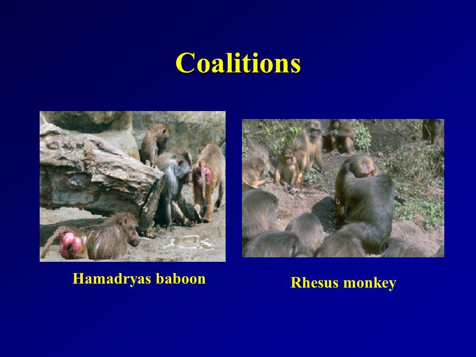 Coalitions Hamadryas baboon Rhesus monkey