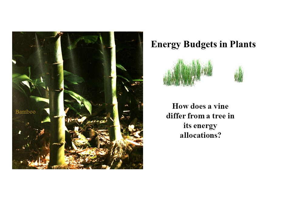 How does a vine differ from a tree in its energy allocations Energy Budgets in Plants Bamboo