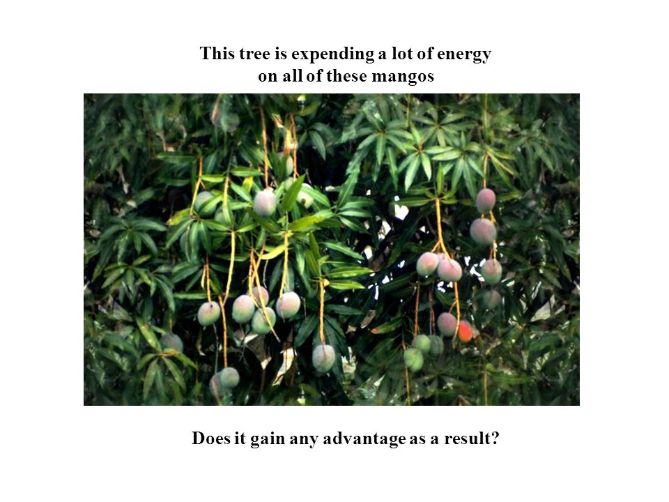 This tree is expending a lot of energy on all of these mangos Does it gain any advantage as a result