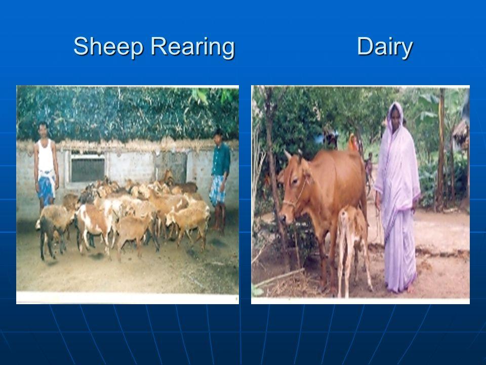 Sheep Rearing Dairy