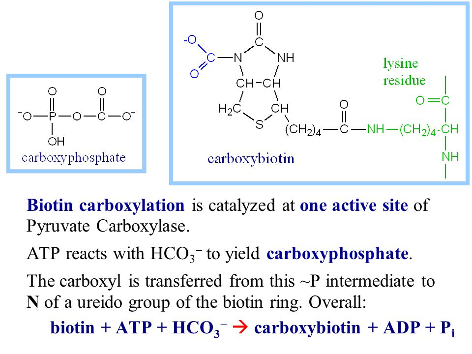 Biotin carboxylation is catalyzed at one active site of Pyruvate Carboxylase. ATP reacts with HCO 3  to yield carboxyphosphate. The carboxyl is trans