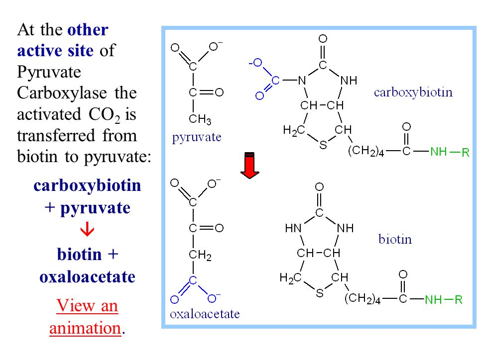 At the other active site of Pyruvate Carboxylase the activated CO 2 is transferred from biotin to pyruvate: carboxybiotin + pyruvate  biotin + oxaloa