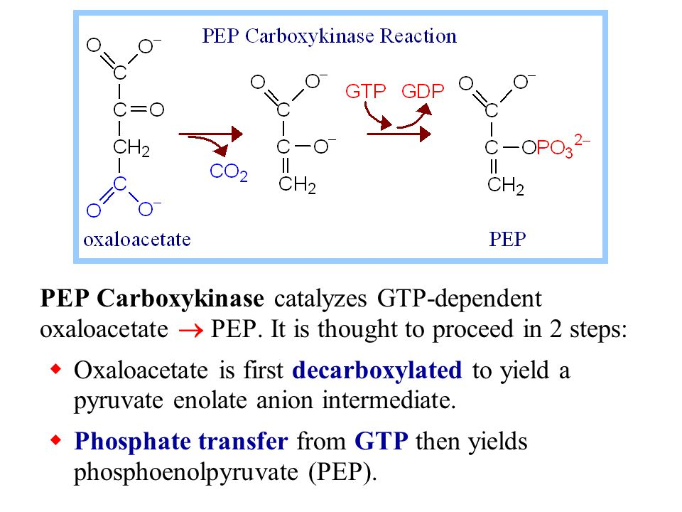 PEP Carboxykinase catalyzes GTP-dependent oxaloacetate  PEP. It is thought to proceed in 2 steps:  Oxaloacetate is first decarboxylated to yield a p