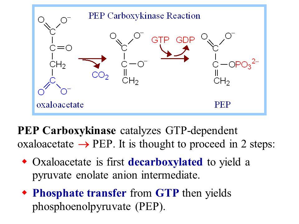 PEP Carboxykinase catalyzes GTP-dependent oxaloacetate  PEP.